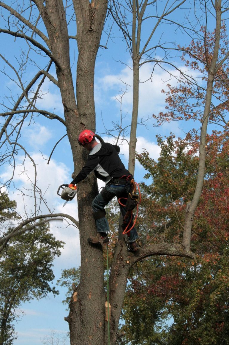 tree trimming a large ash tree in Johnson City